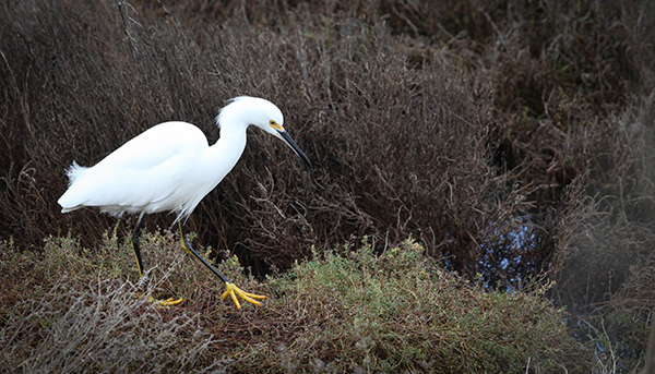 Michelle Yau - Hunting Egret - Stevens Creek Shoreline Nature Area