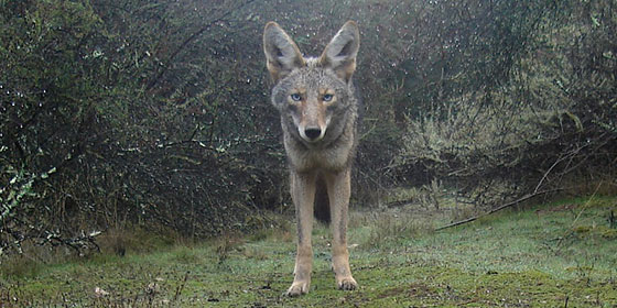 A blue-eyed coyote by Ken Hickman