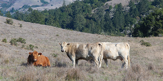 Cattle grazing on Midpen open space land. © Frances Freyburg