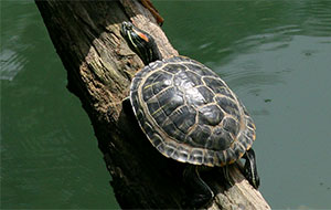 Red eared slider © Gary Nafis