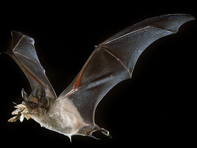 Mexican free-tailed bat © Francis Tuttle/USDA