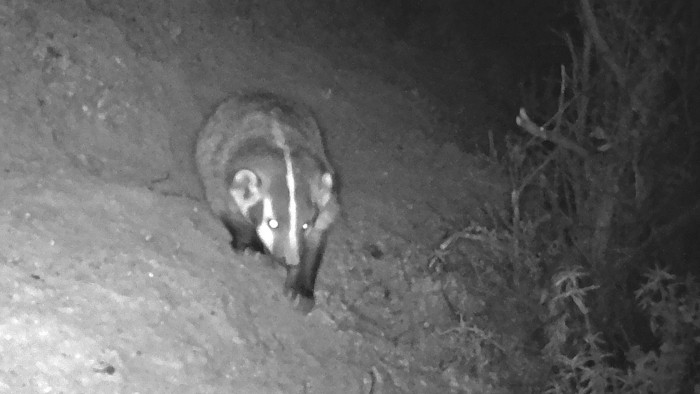 Badger at Windy Hill captured via Midpen wildlife camera during this study.