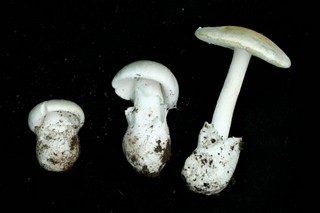 Amanita orcreata (Western Destroying Angel). Photo: Trent Pearce - East Bay Regional Park District