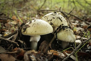 Amanita phalloides (Death Cap). Photo: Trent Pearce - East Bay Regional Park District