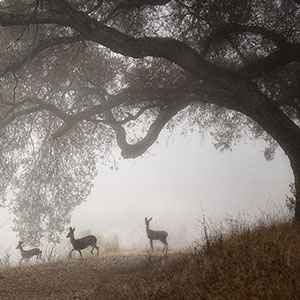 a group of deer beneath an oak tree on a smoky day