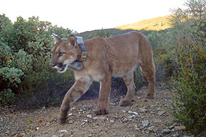 Mountain lion © Ken Hickman