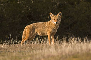 Coyote © Karl Gohl