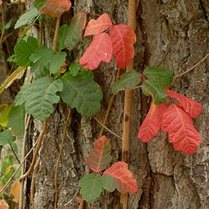 Poison Oak leaves change from green to red throughout the season. © Jill Matsuyama