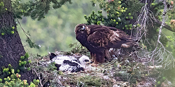 Golden eagle nesting on the slopes of Mount Umunhum. Photo by Beth Hamel.